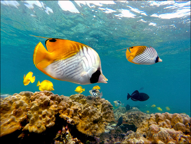 Underwater photo of yellow flat fish and black fish in bright aqua water