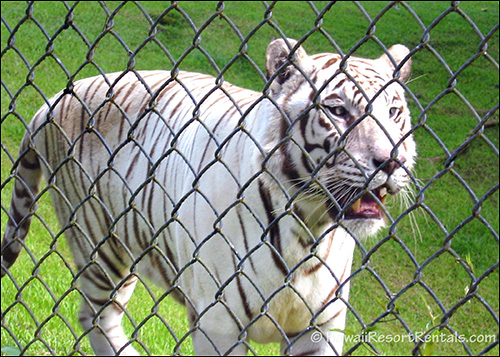 Close-up of a white and black striped tiger on a green lawn behind a chain-link fence